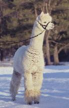 Alpaca for sale - Bon Chance