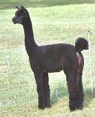 Inti alpaca shearing services - example of our work.