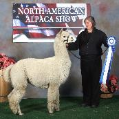 Maple Brook Bolero wins the prestigous Mature Male class at the North American Alpaca Show, over alpacas less than half his age!