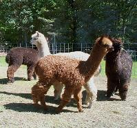 Alpacas of all colors for sale in New England.