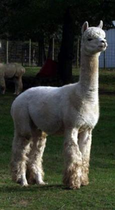 The full Alianza import, Peruvian Bueno, pictured at Maple Brook Farm, is one of the greatest alpaca sires ever.