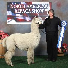 Maple Brook Bolero, blue ribbon award winnerat the 2008 North American Alpaca Show.