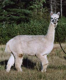 Cameo, offered for sale by Inti Alpacas, LLC.