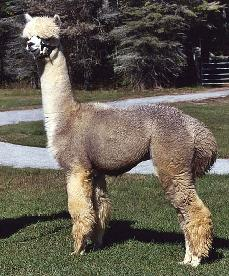 DAFI Machu Pichu, grey alpaca at stud in New England.
